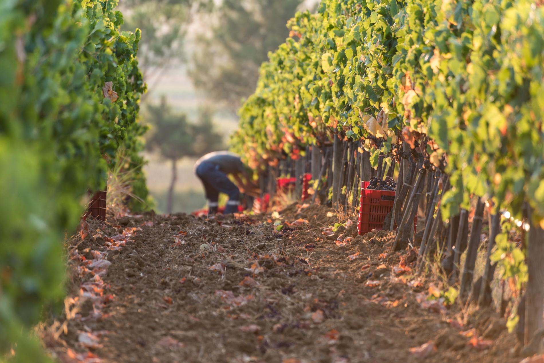 Raccolta di uva nelle vigne della Toscana