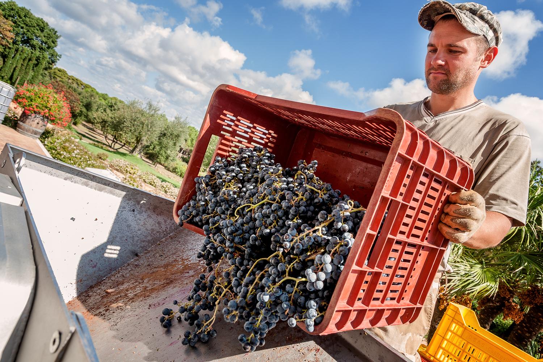 Lavorazione uva vendemmiata