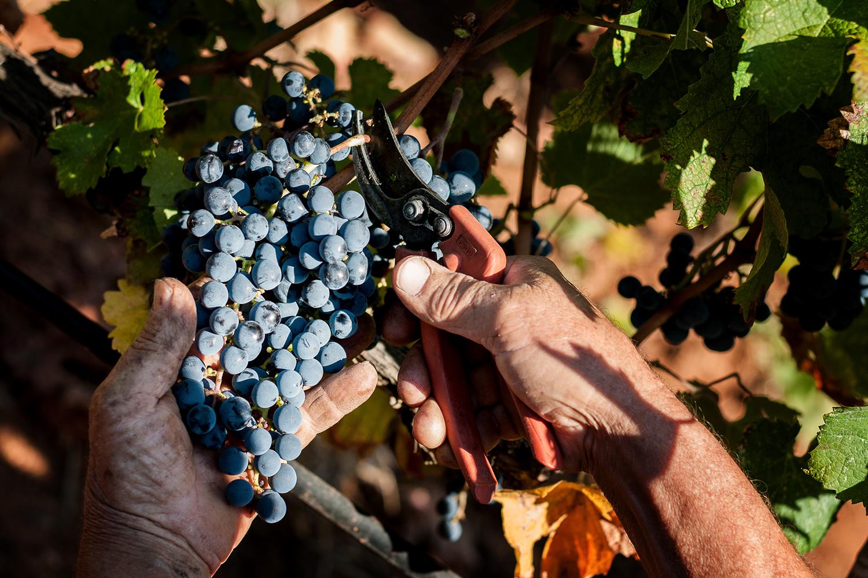 Tagliare uva in vendemmia